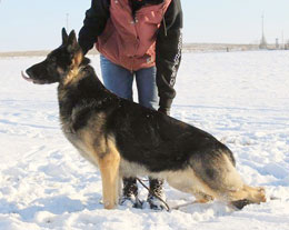 Trace German shepherd